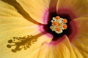 1sized_hibiscus